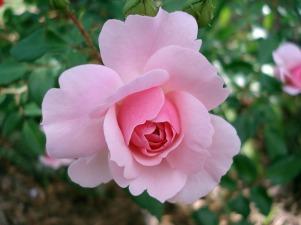 rose-185961_640